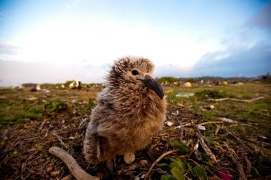 albatross2
