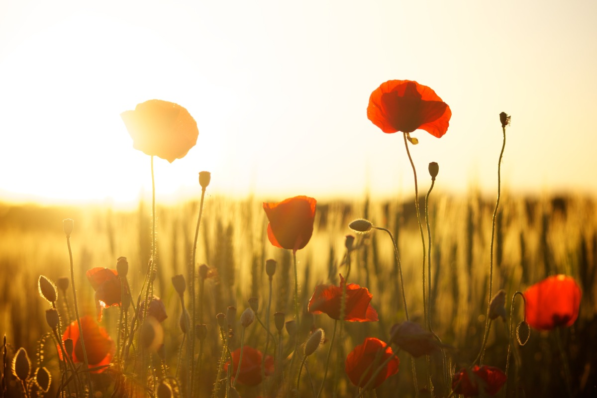 Should we be wearing a 'green' poppy this Remembrance Day?